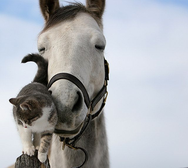 cavallo-gatto