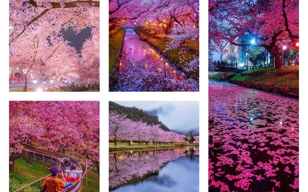 Beautiful Cherry Blossoms in Japan