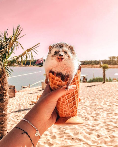 hedgehog in an ice cream cornet
